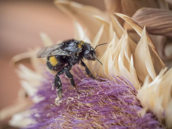 Hummel sucht nach Pollen