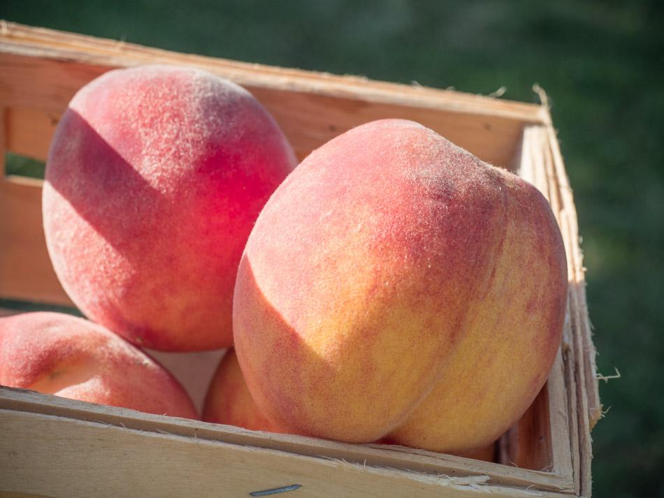 Erntezeit: Die Pfirsiche sind reif