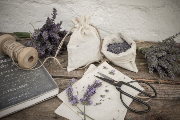 Lavendelernte in Burgenland