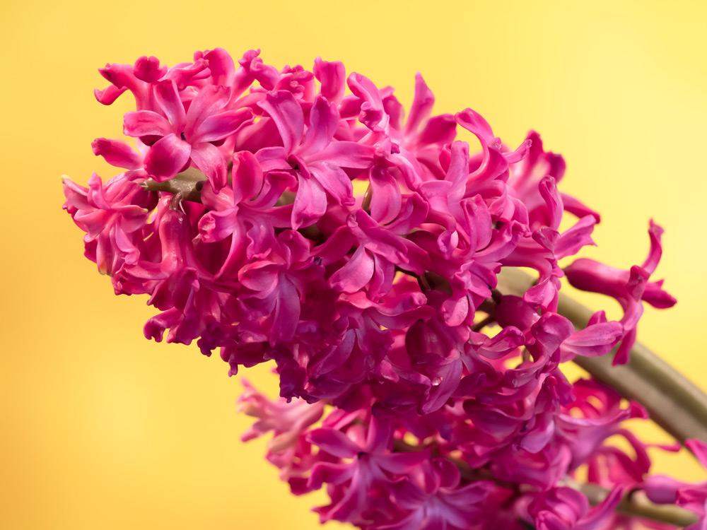 Hyazinthe-Frühlingsbote
