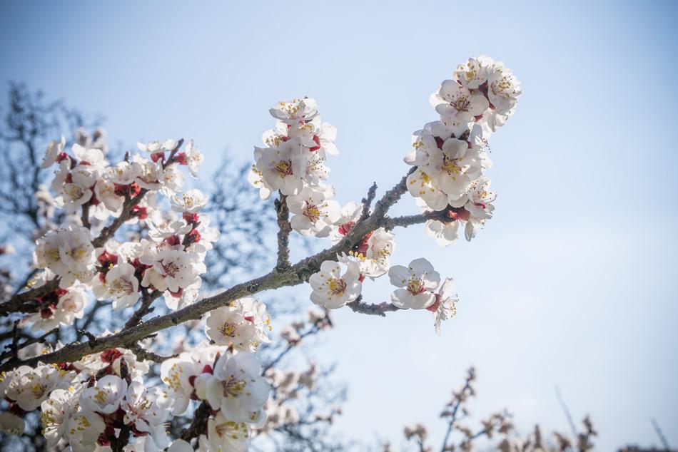 Die Marillen blühen im Burgenland
