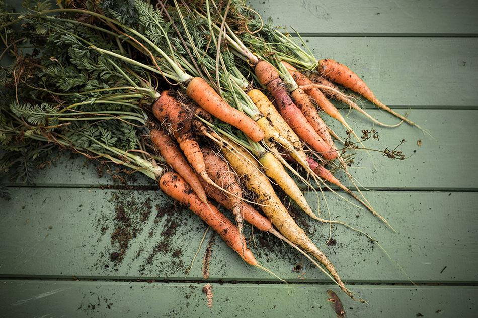 Karotten im Winter im Hochbeet
