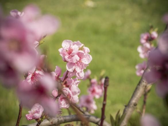 Die Pfirsichbäume blühen