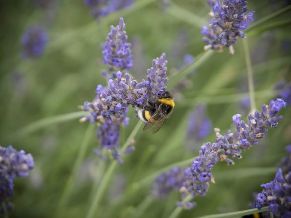 Hummel-Lavendel-