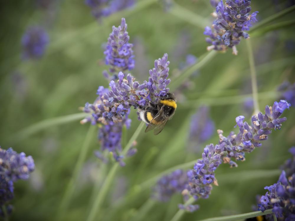 Lavendel schmeckt Hummeln, Bienen und uns!