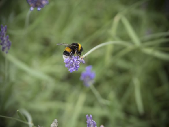 lavendel schmeckt hummeln bienen und uns friedrichs gartenjahr auss en pflanzen gie en. Black Bedroom Furniture Sets. Home Design Ideas