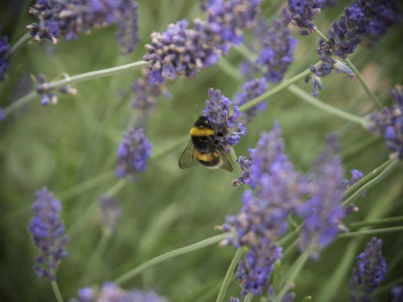 Hummel-Lavendel-03