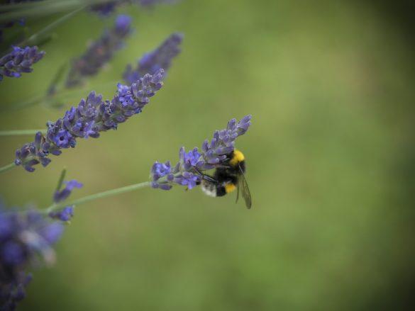 Hummel-Lavendel-04