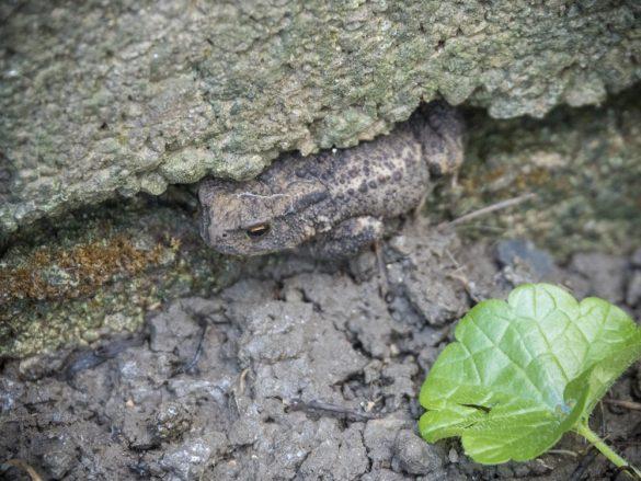 Eine Erdkröte