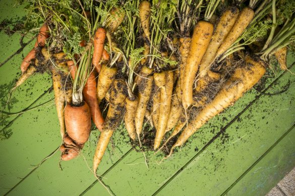 Karotten – Ernte aus dem Hochbeet