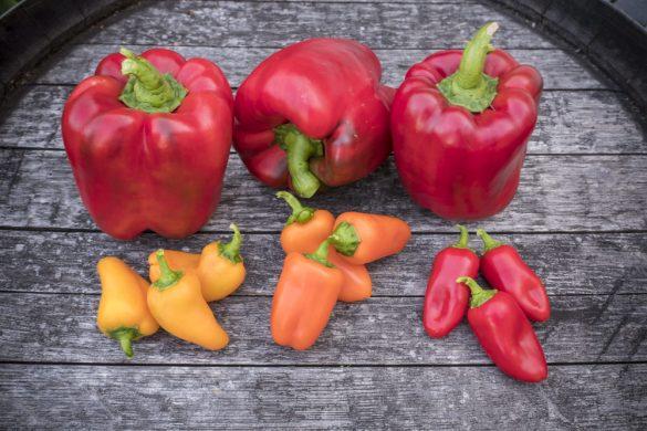 Paprika: Multicolore-2016