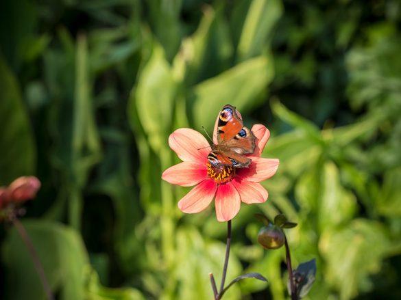 Tagpfauenauge-Schmetterling-unefuellte-Dahlie
