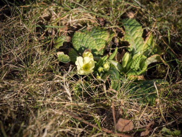 Frühlingsbote: Primel