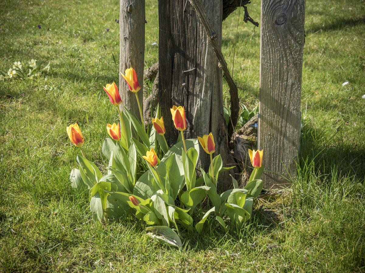 treue tulpen friedrichs gartenjahr friedrichs gartenjahr auss en pflanzen gie en und genie en. Black Bedroom Furniture Sets. Home Design Ideas