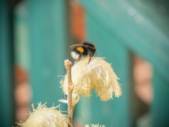 Auch Bienen und Hummeln mögen Palmkatzerl!