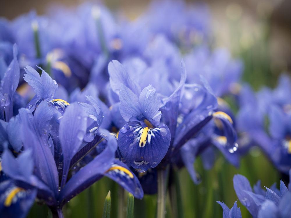 Iris blühen 002-2017