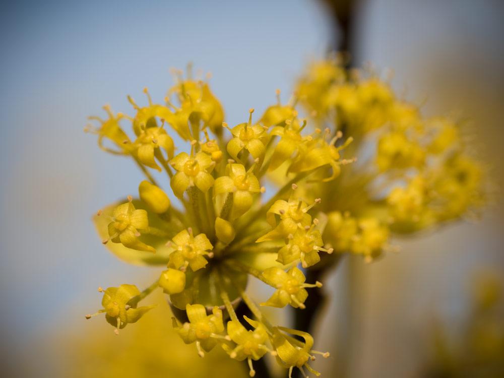 Die Kornelkirsche blüht – der Frühling ist da (beinahe)!