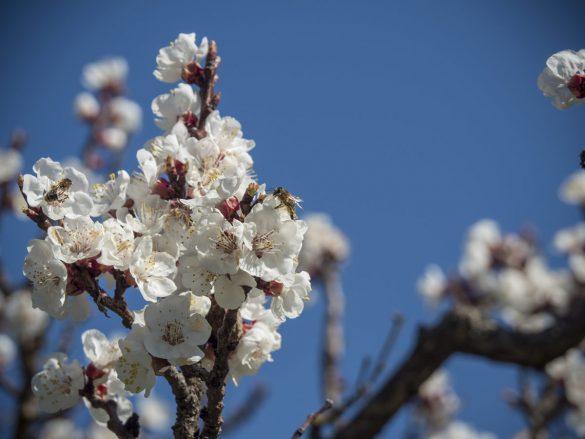 Marillenblüte, Bienen und Hummeln