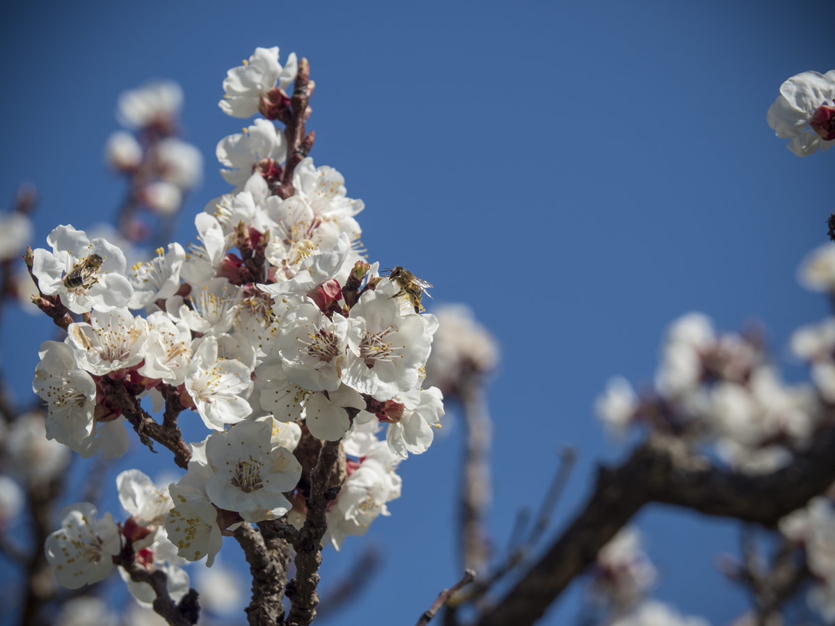 Marillen-Bienen-Hummeln-Bestäubung-03-2017