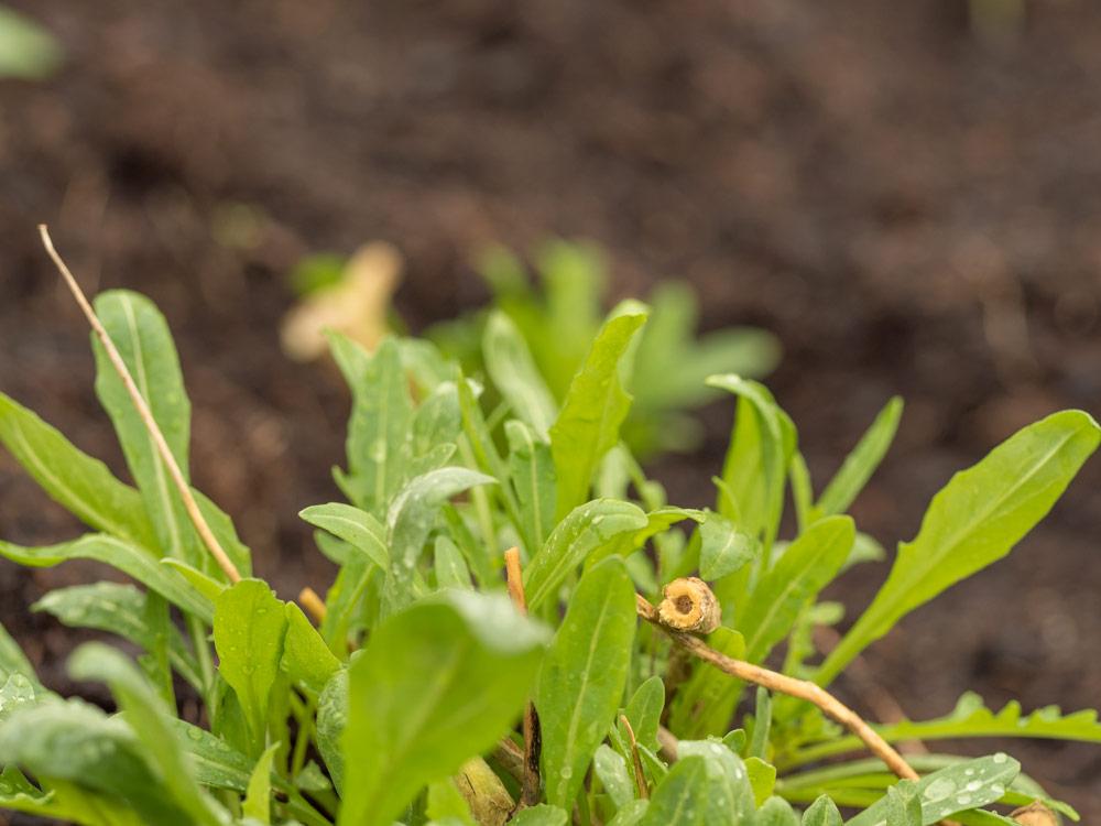 salat ist gesund und schmeckt super friedrichs gartenjahr auss en pflanzen gie en und. Black Bedroom Furniture Sets. Home Design Ideas