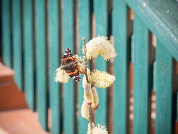 Schmetterling im März-2017