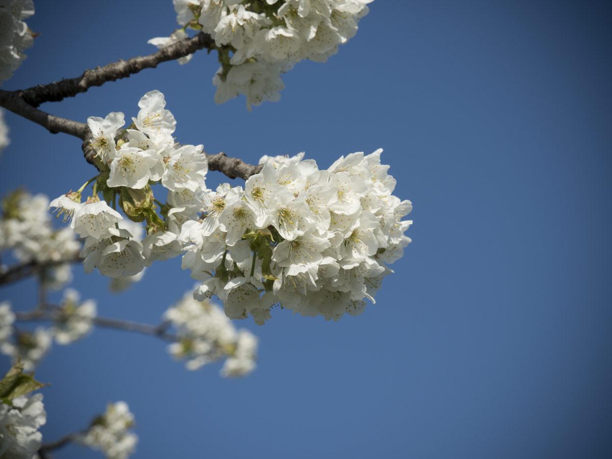 Kirschen-vollblüte-April-2017-01