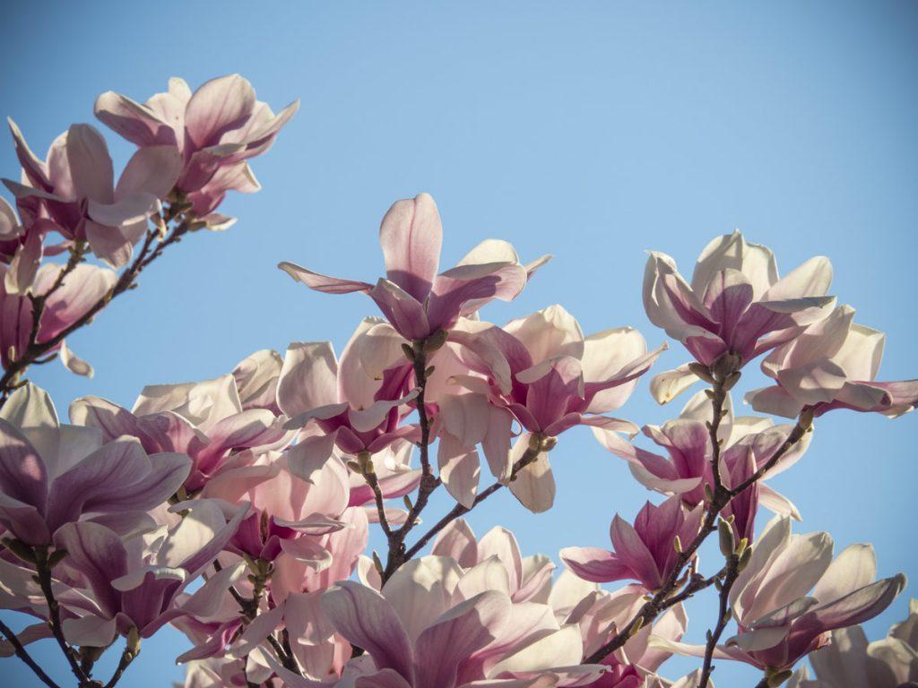 magnolien friedrichs gartenjahr auss en pflanzen. Black Bedroom Furniture Sets. Home Design Ideas