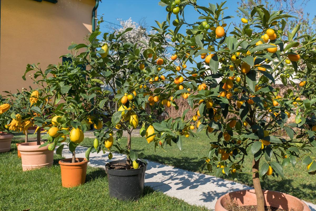 Zitronen kommen vom Winterlager
