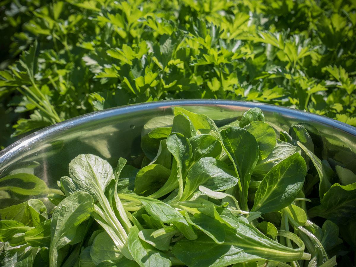 Feldsalat-Vogerlsalat-Saatband-Hochbeet-Mai-