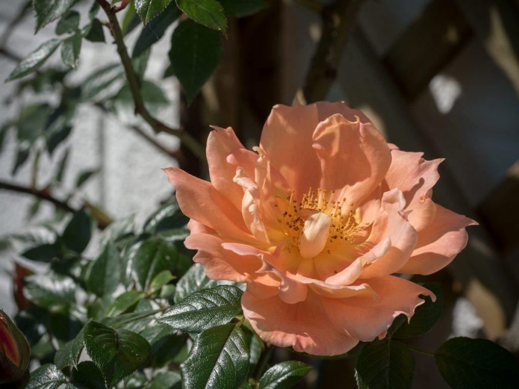 zum muttertag bl ht die erste rose friedrichs gartenjahr auss en pflanzen gie en und genie en. Black Bedroom Furniture Sets. Home Design Ideas