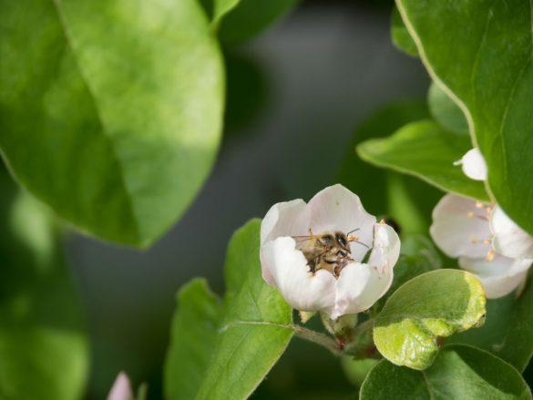 Die Quitten blühen, das freut auch diese Biene