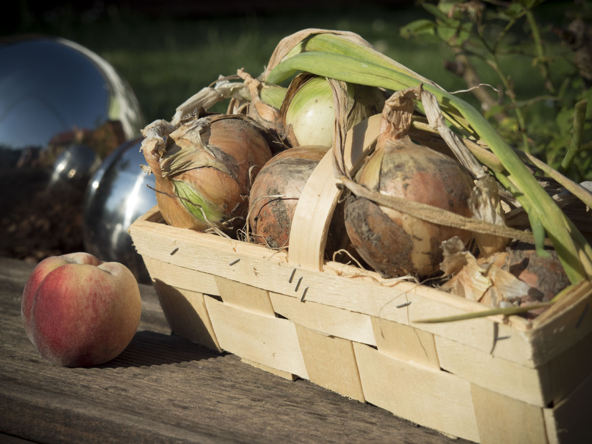 Zwiebel ernten, Pfirsiche ernten