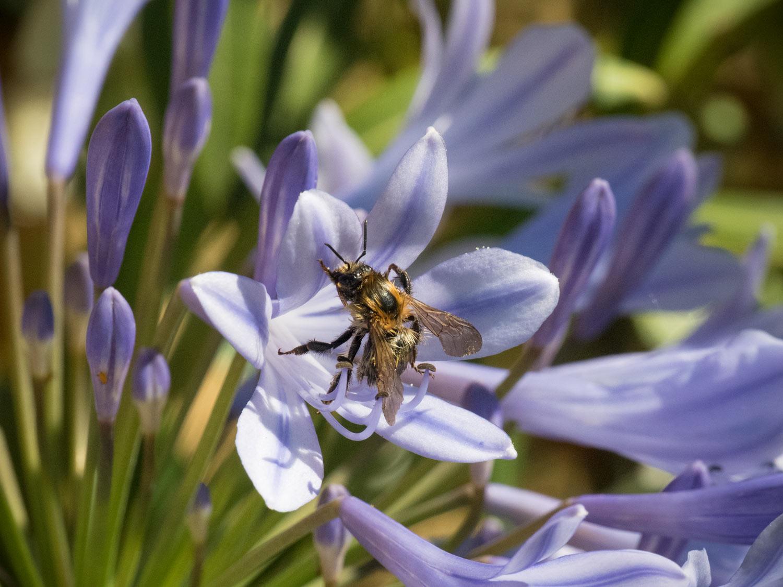Agapanthus-Biene-Kübelpflanze-2017
