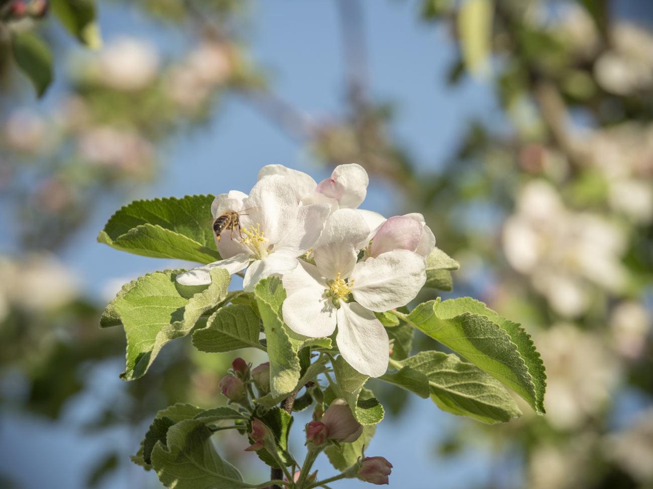 Apfelbaum blüht, und eine Biene-2018