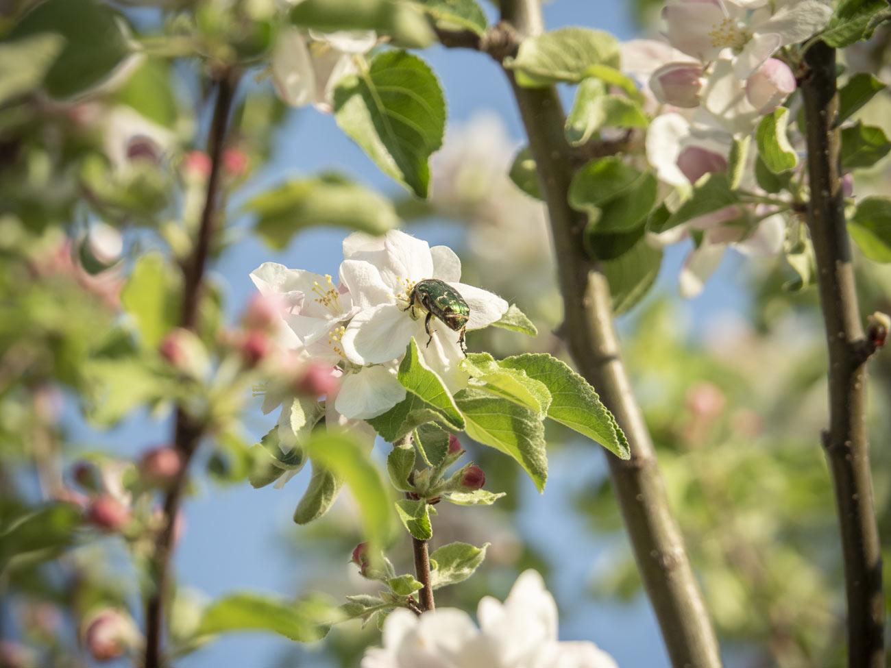 Viele Obstbäume blühen jetzt
