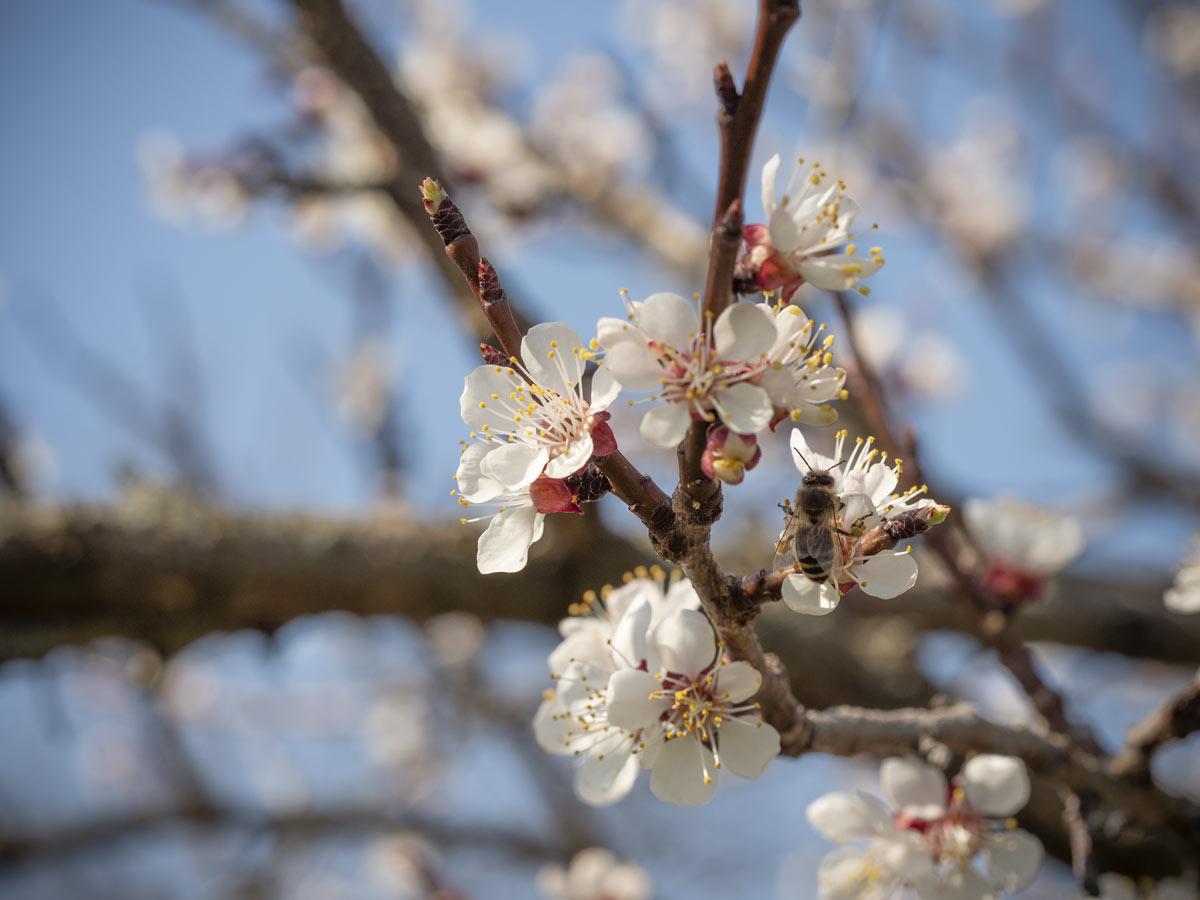 Biene-auf-Marillenblüte
