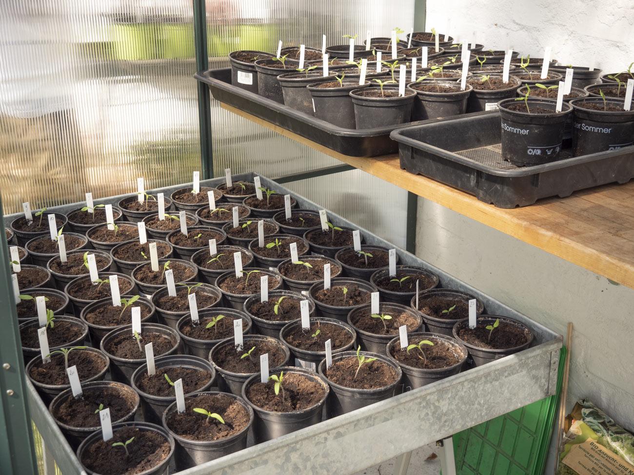 Die Paradeiserpflanzen sind noch winzig - aber das wird schon...
