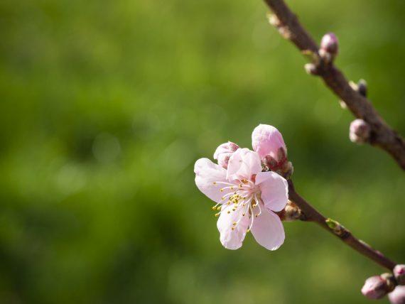 Die Pfirsiche blühen, das freut auch die Bienen