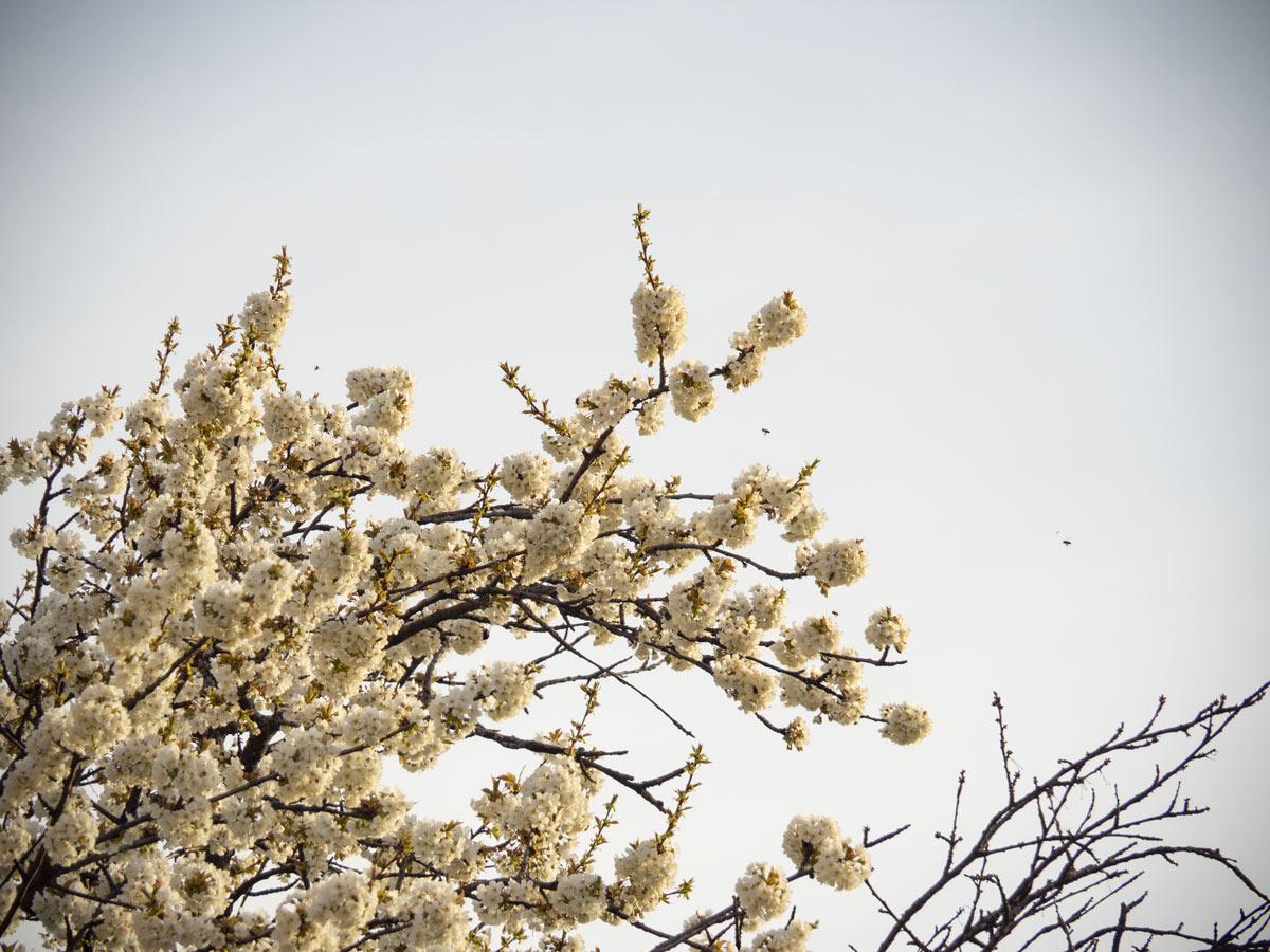 Die ersten Kirschen blühen