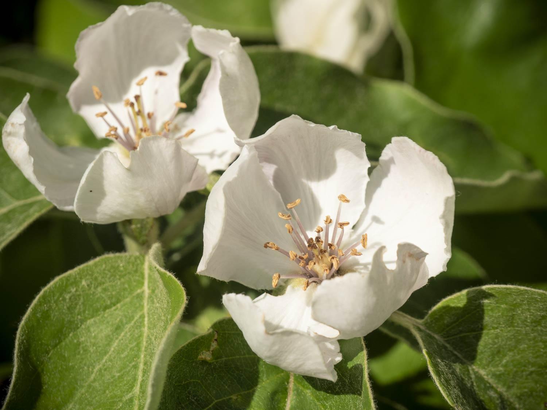 Apfelquitten-blühen-Mai-2018
