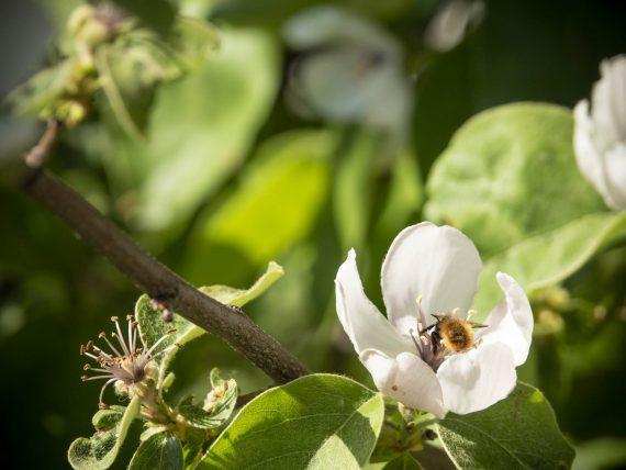 Die Birnenquitte blüht – das freut auch diese Wildbiene!