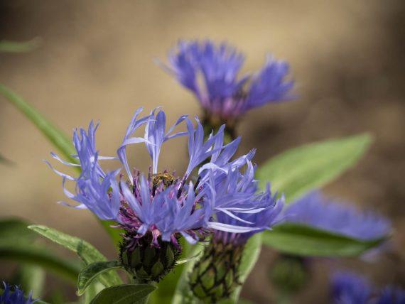Blütenparade: Die Kornblume