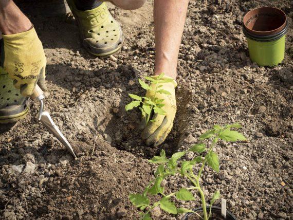 Die Paradeiser werden ausgepflanzt