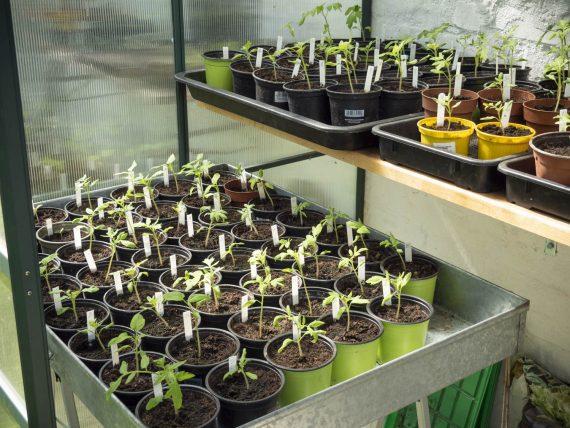 Paradeiserpflanzen Anfang Mai