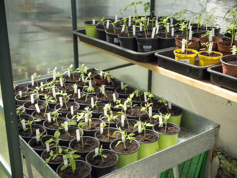Paradeiser-Tomaten-wachsen-rasch-