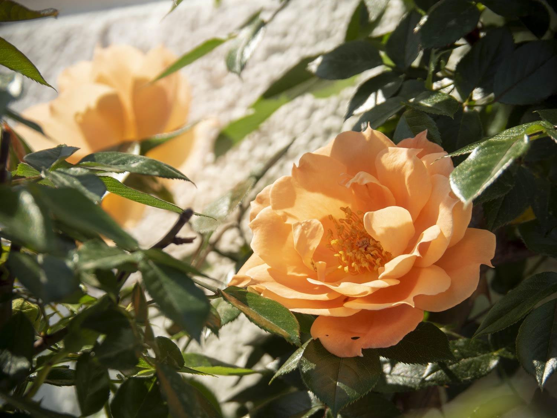 Blütenparade: Rosen