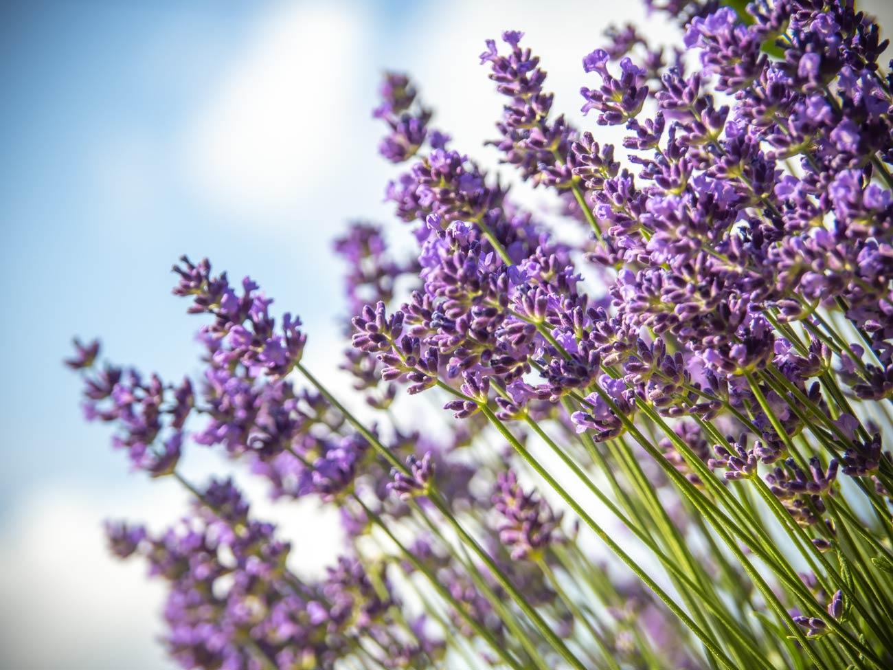 Lavendel blüht