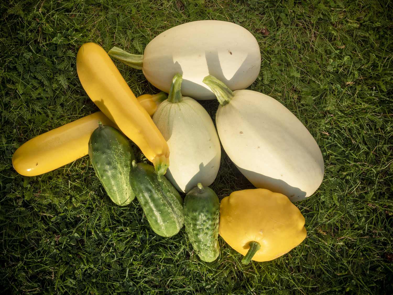 Kürbis, Gurke, Zucchini - die Gemüseernte