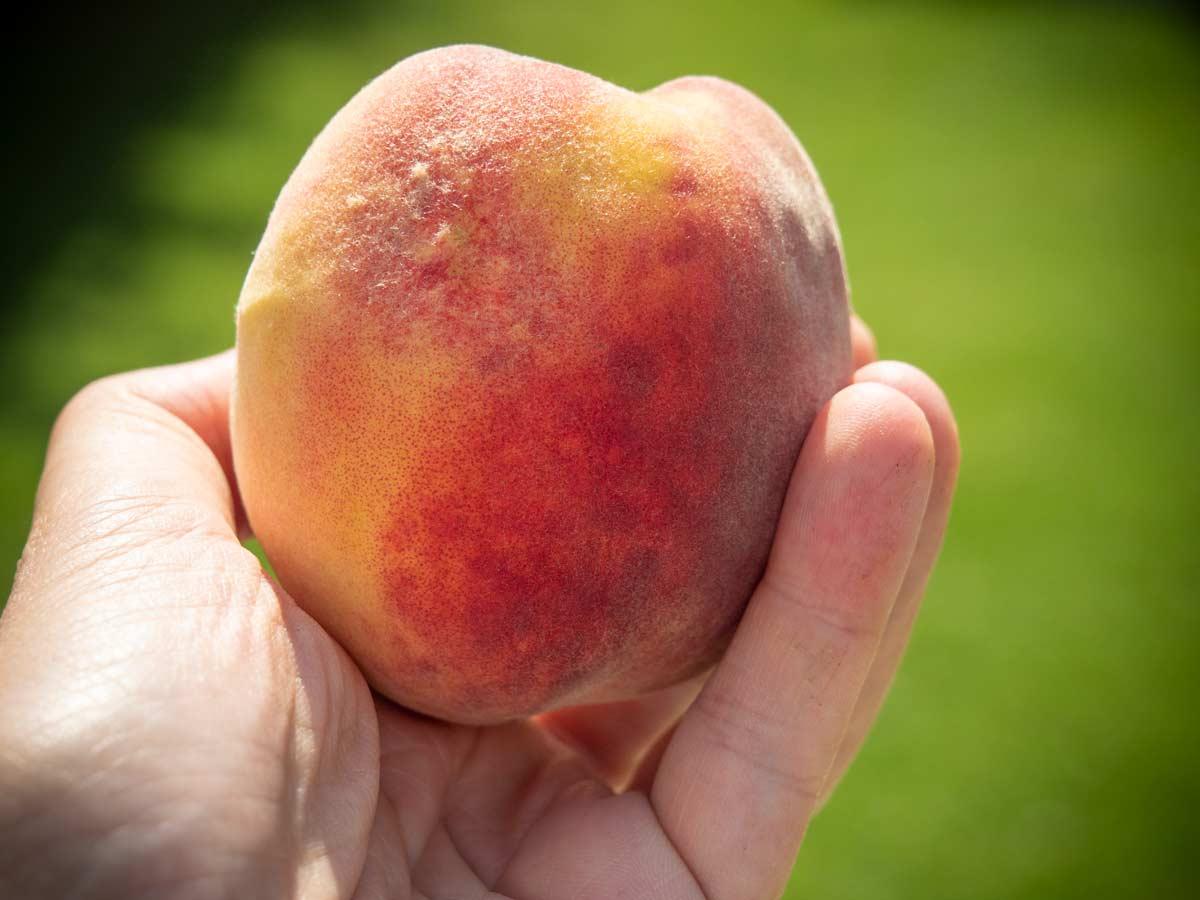 Riesige Pfirsiche ernten im Garten