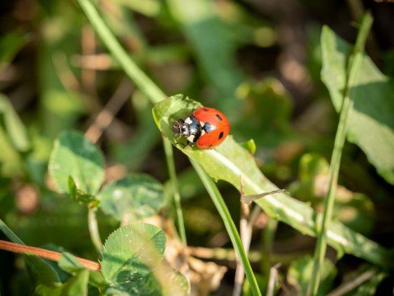 Marienkäfer sind Glücksbringer, speziell im Gartenjahr